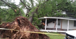 Daves Tree Service uprooted